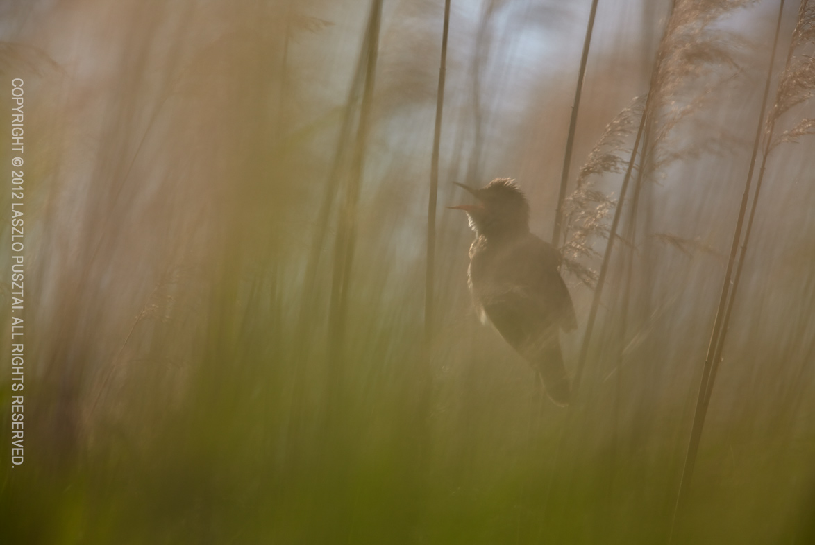 Great Reed Warbler Singing
