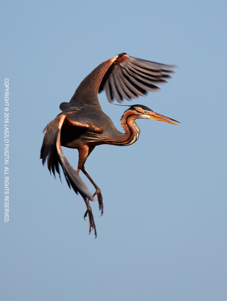 Purple Heron Landing Ballet