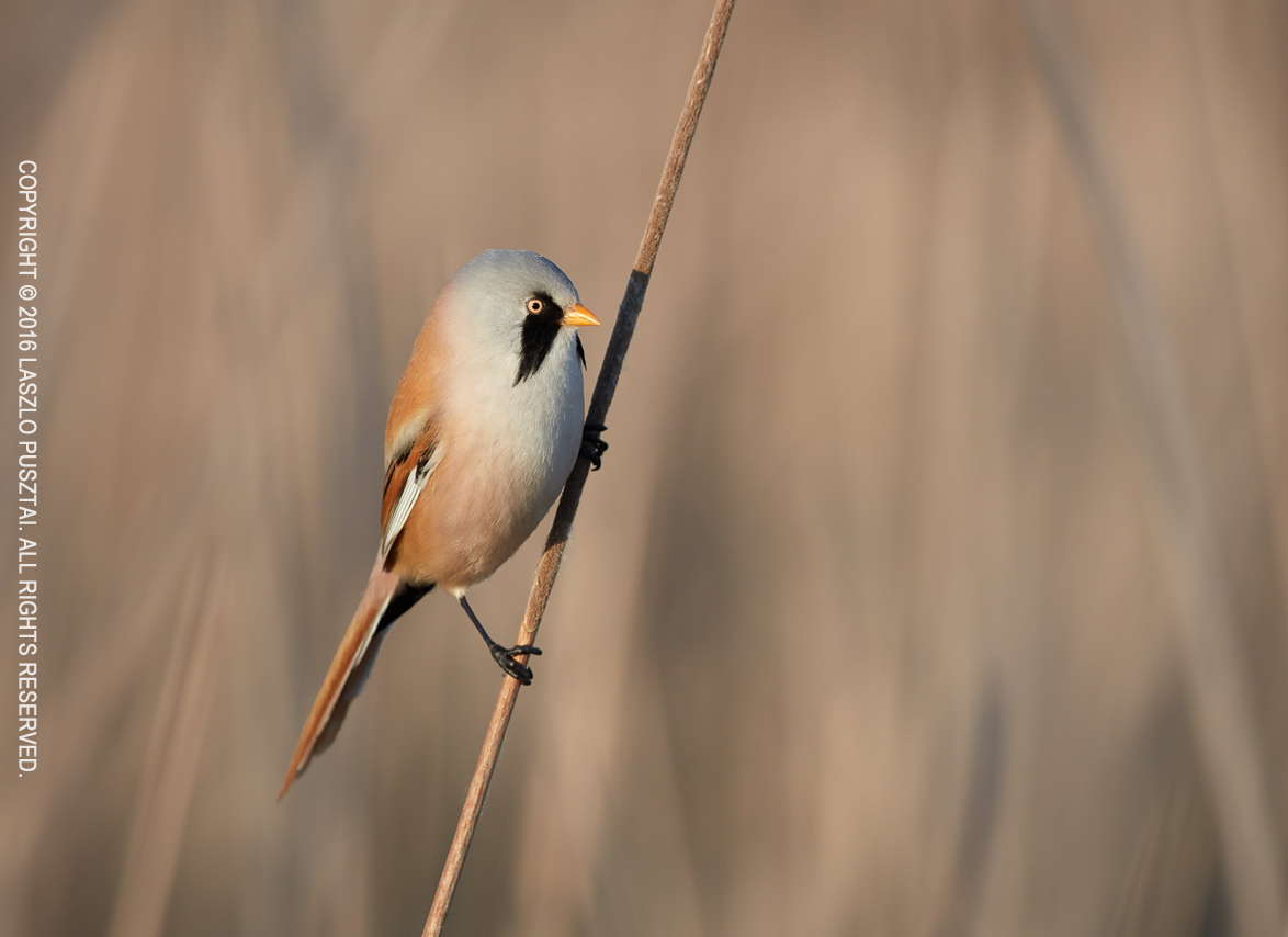 Bearded Tit - Another Take