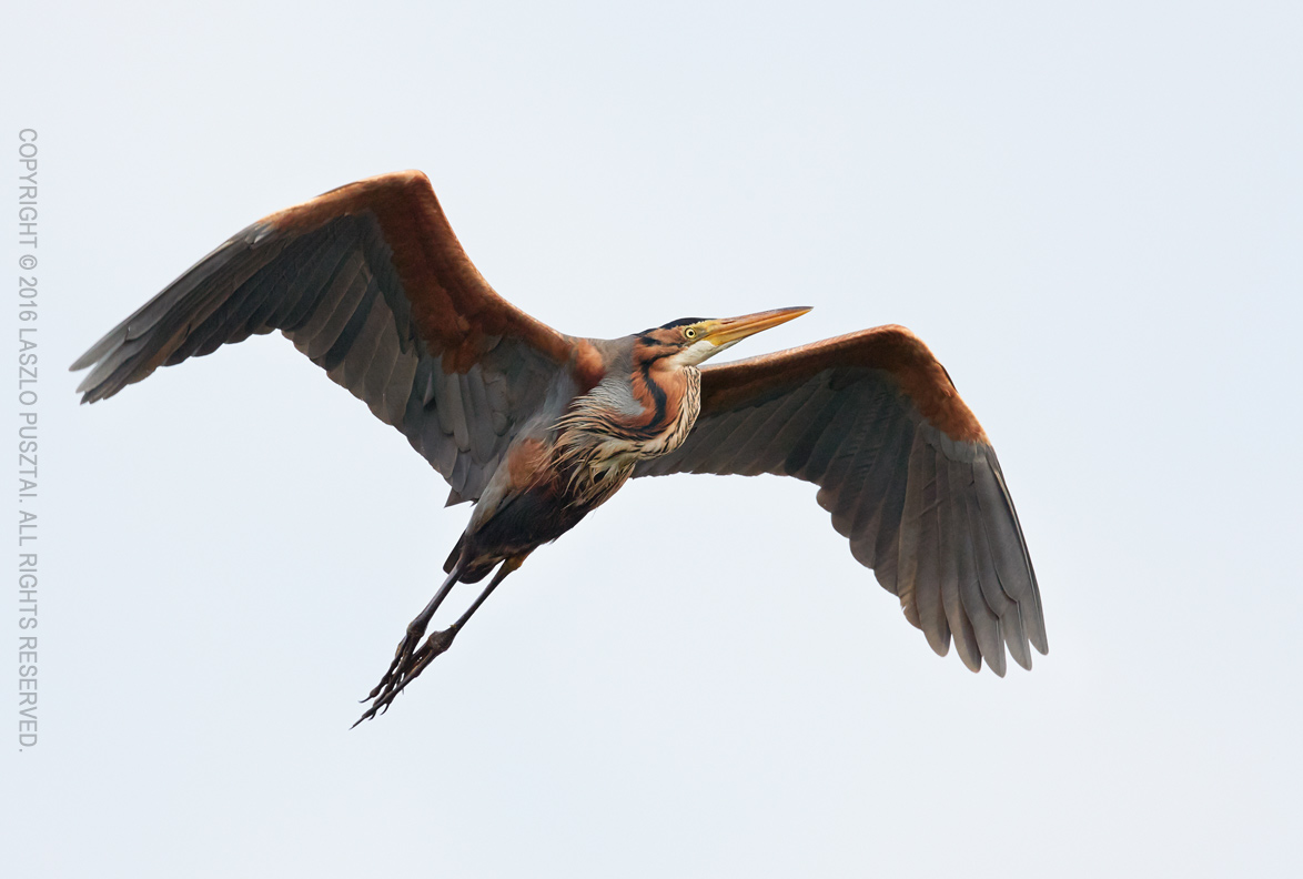 Purple heron. 1D X Mark II with 500mm f/4L IS II and 1.4x III teleconverter. ISO 400, pushed 3 stops.