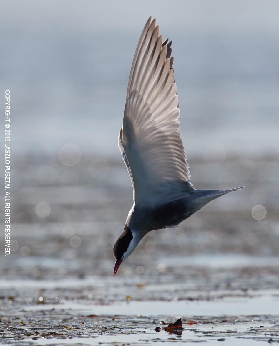 Tern with Angel Wings. 1D X Mark II with 500mm f/4L II + 2x III @ ISO 800.