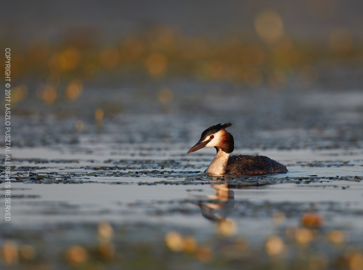Grebe on the Marked Waterway